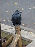 Corbeau, dans le parc de Ueno